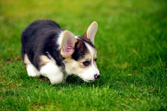 Pup on grass