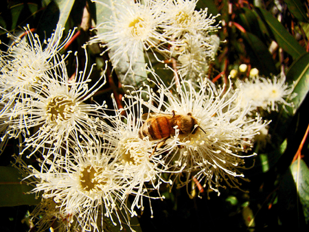 bee on eucalyptus flower