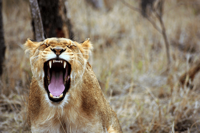 Lion growling face