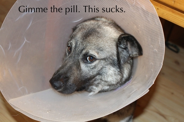Itchy allergic dog in cone