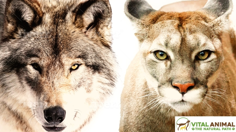 Wolf and puma = Vital Animals