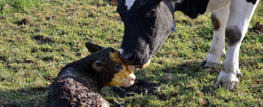 #18 Colostrum vs Transfer Factor: What's Wiser?